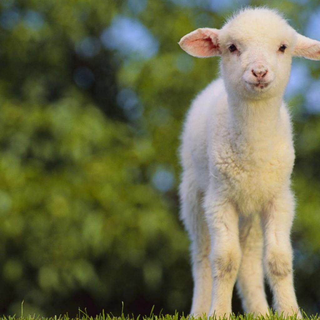 bárány és magas vérnyomás